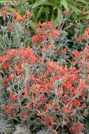plantfiles pictures hummingbird plant uruguayan firecracker