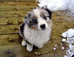 australian shepherd funny 217 best my aussies images on pinterest animals aussies and