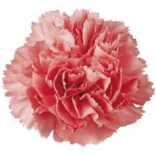 bulk carnations wholesale flowers carnations white