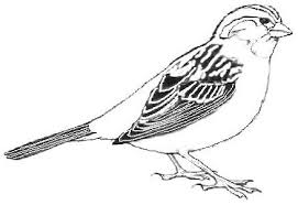sparrow coloring pages 10 u2013 coloringpagehub