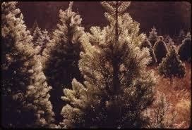 file closeup of a group of christmas trees on a christmas tree