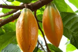 theobroma cacao l plants of the world kew science