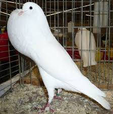 1149 best amazing doves pigeons images on pigeon