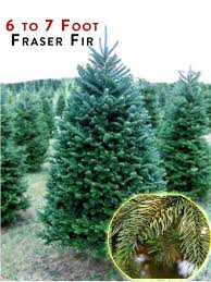 fraser fir tree fraser fir trees for sale ug99