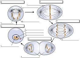 Mitosis And The Cell Cycle Worksheet Cell Cycle Label
