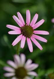 native tennessee plants july tennessee purple coneflower