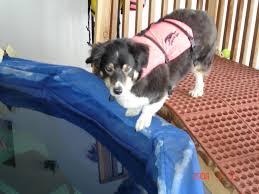 australian shepherd swimming swimming