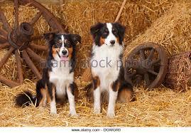 australian shepherd jumping up dog australian shepherd aussie stock photos u0026 dog australian