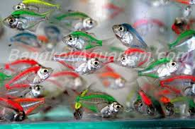freshwater aquarium fish koki louhan arowana