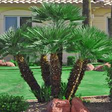 mediterranean fan palm tree mediterranean fan palm tree palms pinterest fan palm palm and