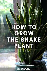 snake plant care u2013 growing the u201cmother in law u0027s tongue u201d snake
