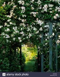 wollerton old hall shropshire climbing rose rosa new dawn on