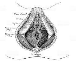 Perineum Anatomy Female Human Anatomy Scientific Illustrations Female Perineum Stock