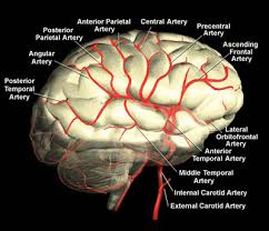 Vascular Anatomy Of The Brain Blood Vessels Of The Brain Internet Stroke Center