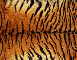 tiger skin background clipart