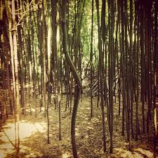 Rhode Island Forest images Bamboo forest picture of fantastic umbrella factory charlestown jpg