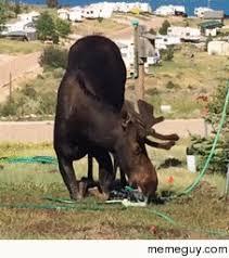 Moose Meme - thirsty moose meme guy