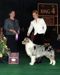 afghan hound westminster jack the australian shepherd about jack