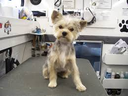 different yorkie haircuts free photos