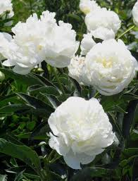 Peonies Flower Reasons Why Peonies Fail To Bloom Horticulture And Home Pest News
