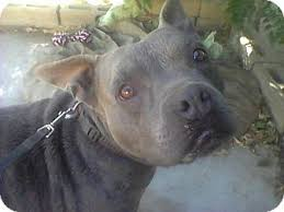 blue american pitbull terrier bonnie blue adopted dog bellflower ca american pit bull