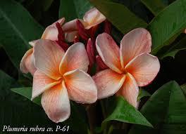plumeria flowers p 61 plumeria twisted tropical nursery plumeria flowers