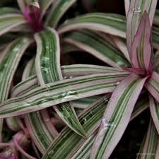 Spider Plant Pink And Green Striped Spider Plant With Water Droplets
