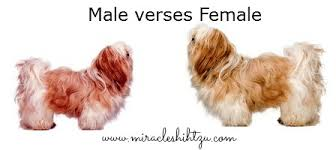 haircuts for shih tzus males the shih tzu dog temperament personality