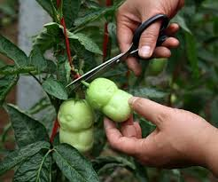 selling baby ginseng fruit pear seeds ornamental