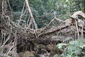 india organic living root bridge in indian rainforest pictures