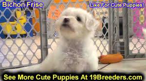 pomeranian x bichon frise sale bichon frise puppies for sale in lansing michigan mi