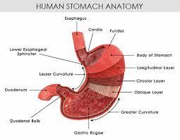 Picture Of Abdomen Anatomy Diagram Of A Stomach Www Uocodac Com