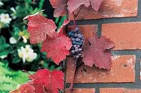 top 10 backyard vines with fall flair birds and blooms