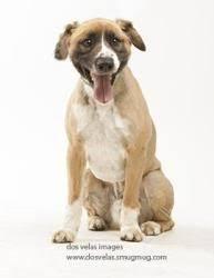 australian shepherd energy i found sasha on australian shepherd dogs shepherd dog and
