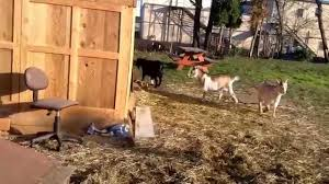 visiting the belmont goats in portland oregon youtube