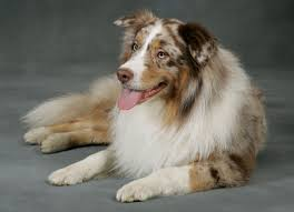 south dakota australian shepherd australian shepherd puppies all red merles and red tri dogs