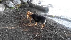 australian shepherd red heeler mix red heeler puppy vs australian shepherd puppy youtube