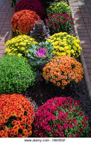 Picture Of Mums The Flowers - mums stock photos u0026 mums stock images alamy