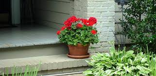 The Geranium On The Windowsill Just Died How To Grow Geraniums Over The Winter Today U0027s Homeowner