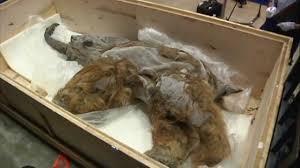 39 000 woolly mammoth carcass arrives japan