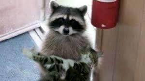 Raccoon Meme - please my wife she s very sick know your meme