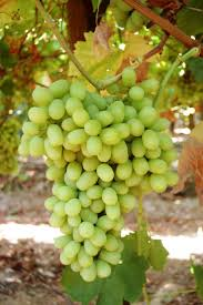 212 best grapes images on pinterest fruit vineyard and fruit trees