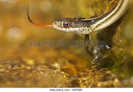 western ribbon western ribbon snake stock photos western ribbon snake stock
