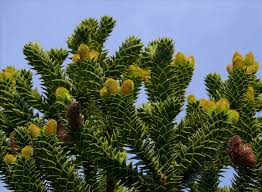 australian native plants for clay soil araucaria du chili clay soil and shrub