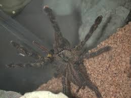 hays tarantula page