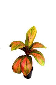 sweet viburnum 200mm pot viburnum 12 best plants images on pinterest gardens plants and tropical
