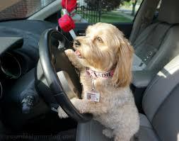 does your dog have a driver u0027s license yet yourdesignerdog