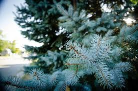 blue spruce utah s state tree blue spruce