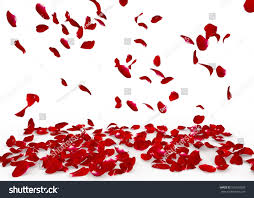rose petals fall floor isolated background stock photo 526553209