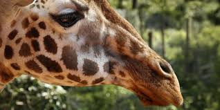 giraffes face u0027silent extinction u0027 as population shrinks nearly 40